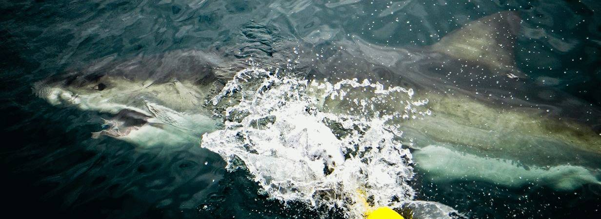 Cape Town Shark Diving