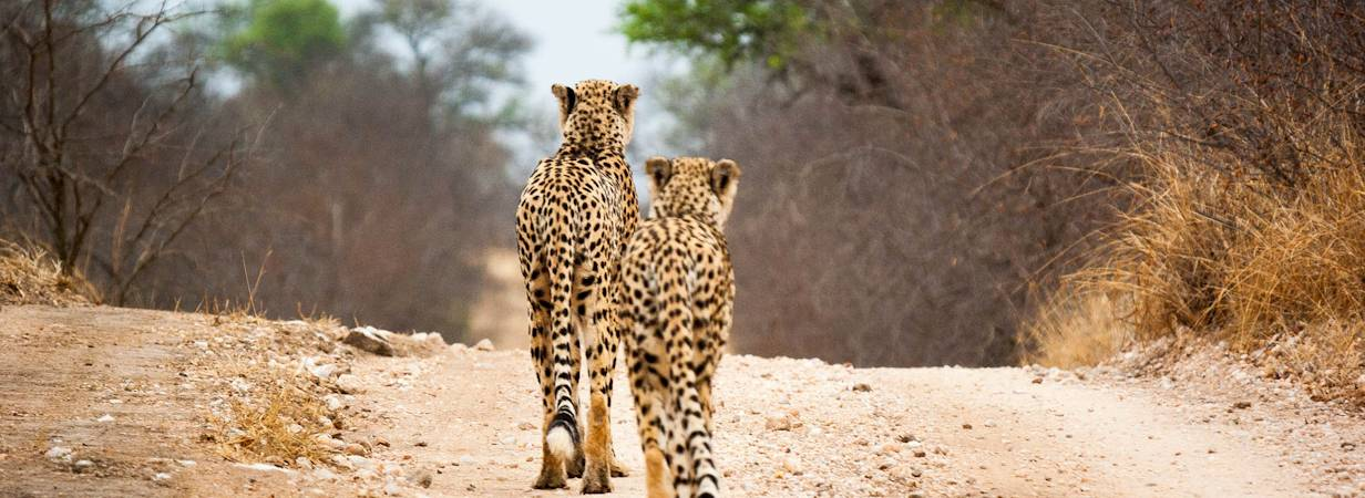 Kruger Park Cheetah Photo Gallery