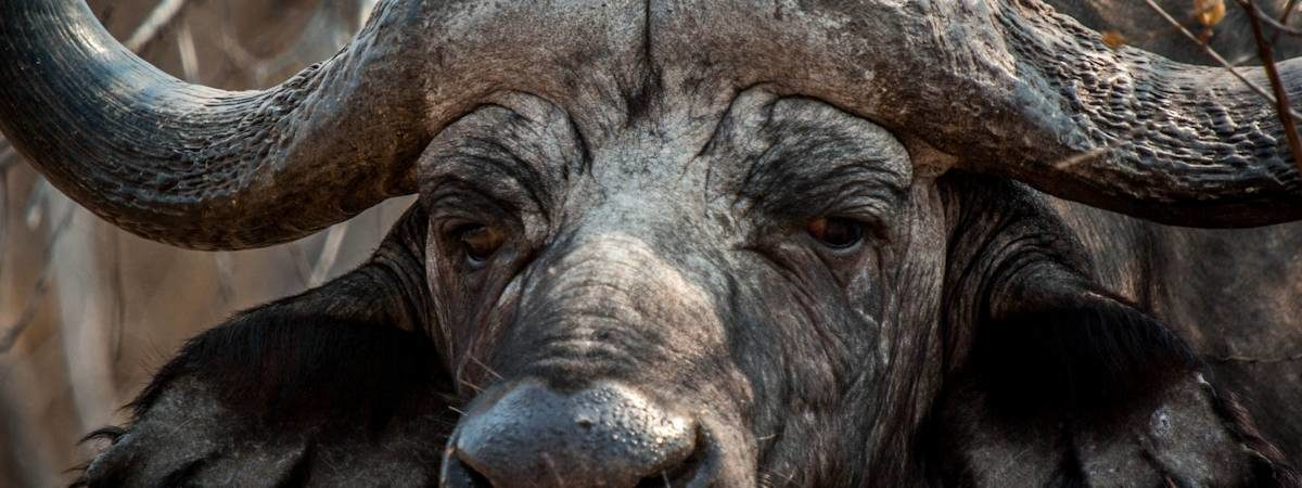 Kruger Park Buffalo Photo Gallery