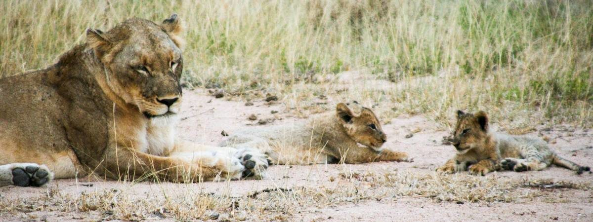 Kruger Park Lion Photo Gallery