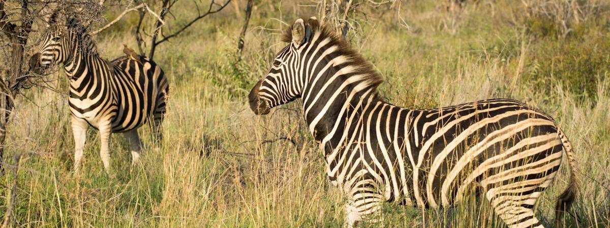 Madikwe Zebra Photo Gallery
