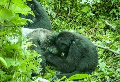 Glimpse of Gorilla Safari, Safaris In Uganda