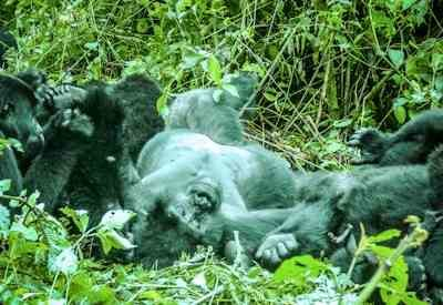 Gorillas through the Mist Safari, Gorilla Safaris In Uganda